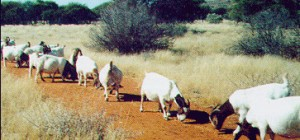 BoerGoat-Management1