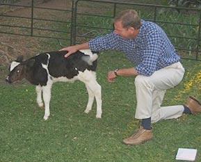 cow-clone4